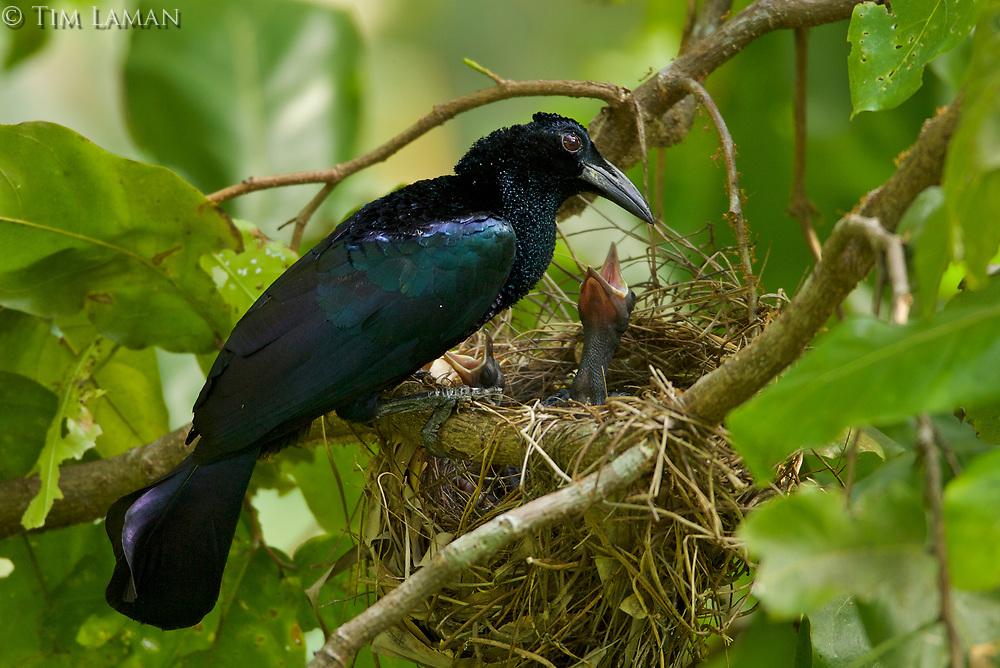 Curl-crested Manucode.<br />Manucodia comrii<br />At nest with chick.