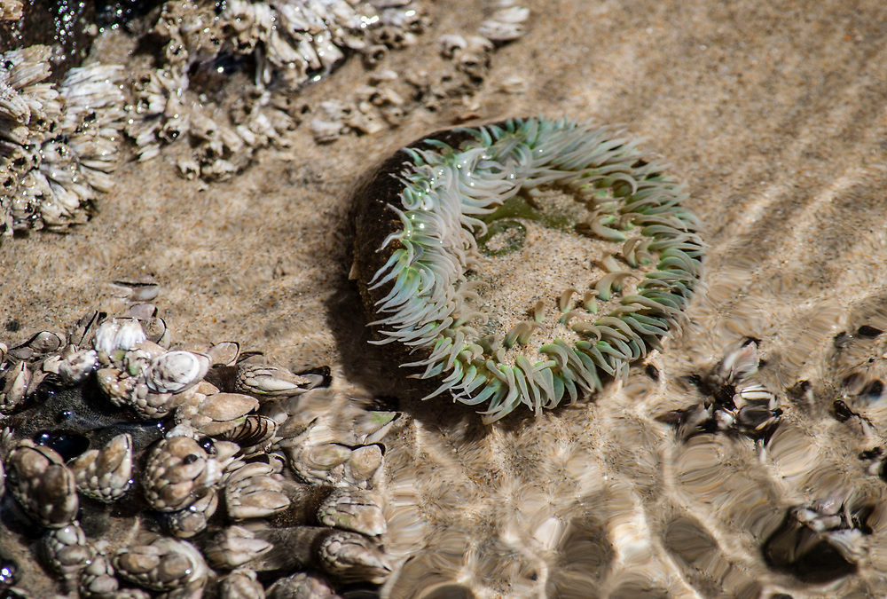 Close up photograph of a tide pool sea anemone.