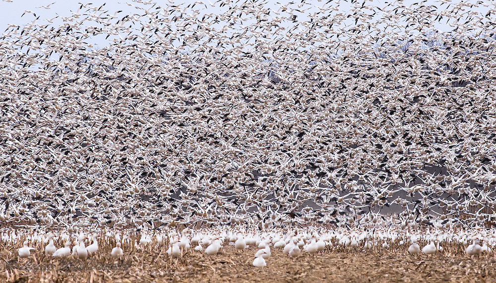 Life of a Snow Goose - from busily foraging to mass ascension.  Winter Bombay Hook NWR