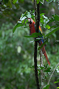 Coca - Sunday, Dec 23 2007: A Scarlet Macaw (Ara macao) perches in a tree above a clay lick in Yasuni National Park. (Photo by Peter Horrell / http://www.peterhorrell.com)