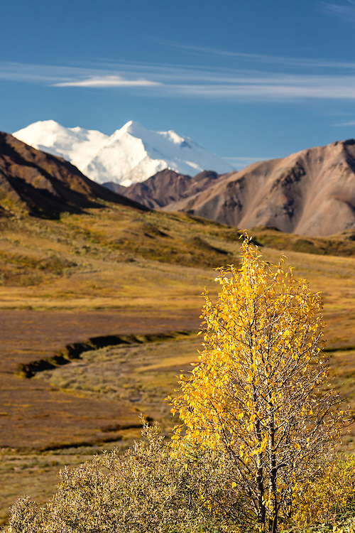 Denali (formerly Mt. McKinley) looms large in the distance in Denali National Park in Interior Alaska. Autumn. Morning.