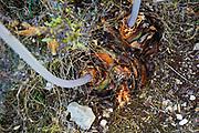 Sea Squill (Drimia maritima) at Fanari Beach, Argostoli, Cephalonia, Ionian Islands, Greece