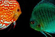 Discus fish (Symphysodon aequifasciatus).