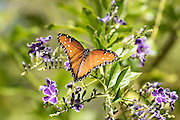 A wild Monarch Butterfly in Southern California
