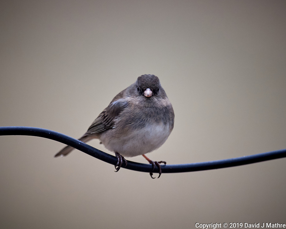 Dark-eyed Junco (immature?).. Image taken with a Nikon D5 camera and 600 mm f/4 VR lens (ISO 1000, 600 mm, f/4, 1/640 sec)