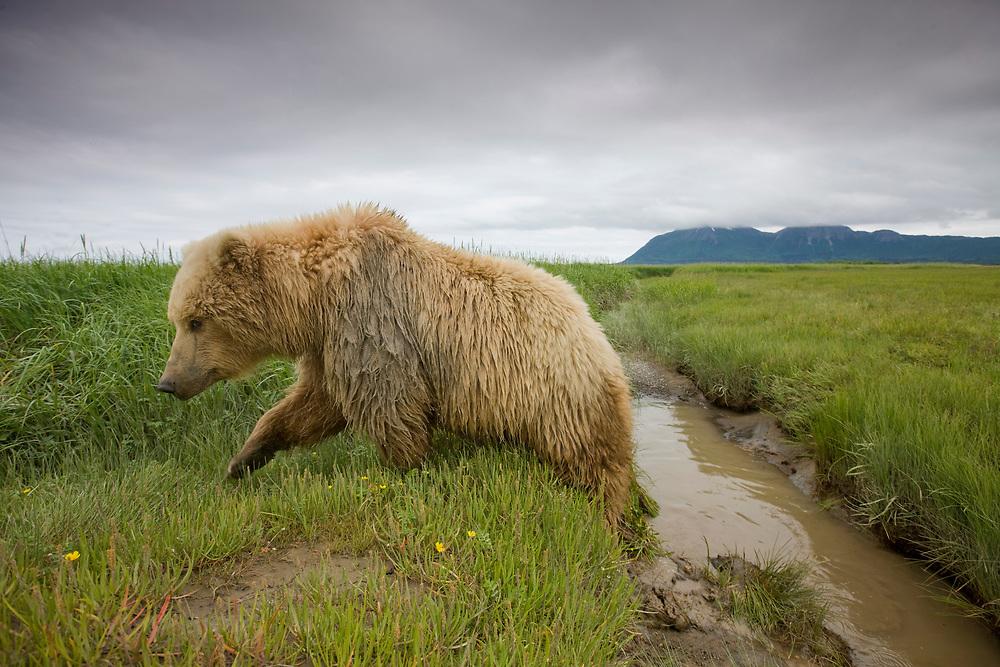 USA, Alaska, Katmai National Park, Brown Bear (Ursus arctos) climbing from small stream in meadow along Hallo Bay