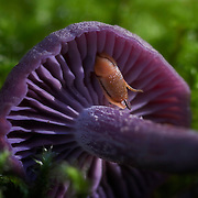 amethyst deceiver in moss with snail.