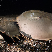 This is a pair of endangered tri-spine horseshoe crabs (Tachypleus tridentatus) engaged in spawning. The male is clearly visible, clasped onto the rear of the female. He is fertilizing eggs being deposited by the female, whose head is buried in the substrate.<br />