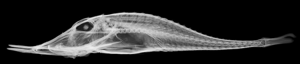 X-ray image of a spotted armored-gurnard (side view, white on black) by Jim Wehtje, specialist in x-ray art and design images.
