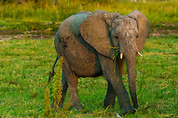 Baby elephants, Kwando Concession, Linyanti Marshes, Botswana.