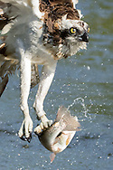 Osprey flies up from pond after capturing a fish, wearing a research band on one leg © 2015 David A. Ponton