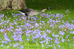 © Licensed to London News Pictures. 20/10/2019. London, UK. A Greylag Goose is seen amongst crocus flowers in St James's Park. Photo credit: Dinendra Haria/LNP