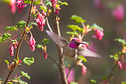 An Anna's hummingbird (Calypte anna) flies away after feeding on a red flowering currant (Ribes sanguineum).