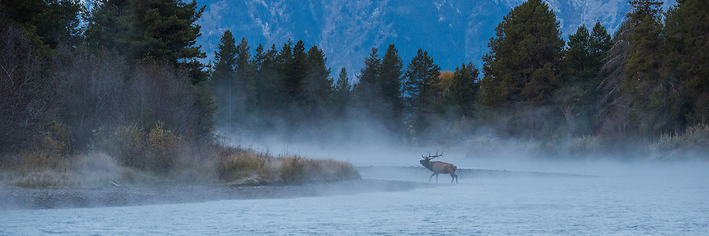 A Bull elk crosses the Snake River following his harem up the river bank.  Grand Teton National Park.
