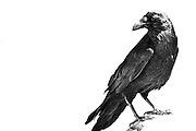 A raven in mid-day desert sun in Southern Utah.