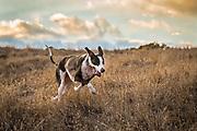 A great dane dog gallops through an open field at sunset.