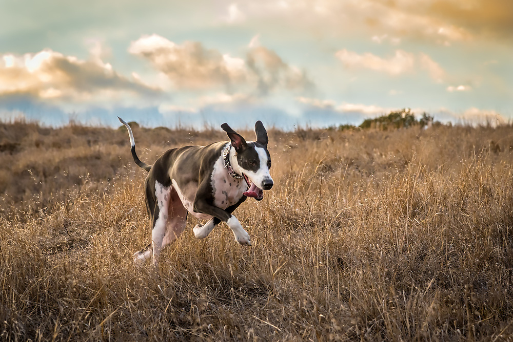 A great dane dog gallops through an open field at sunset.