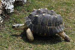 05 June 2005 <br /> <br /> Turtle<br /> <br /> Miller Park Zoo, Bloomington, Il (Photo by Alan Look)