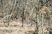 Roe deers (male) at Riserva Naturale Orientata La Fagiana (Natural Oriented Reserve La Fagiana), Castelletto di Magenta, Milan, February...Maschi di capriolo, con il velluto sui palchi, alla Riserva Naturale Orientata La Fagiana, Castelletto di Magenta, Milano, febbraio.