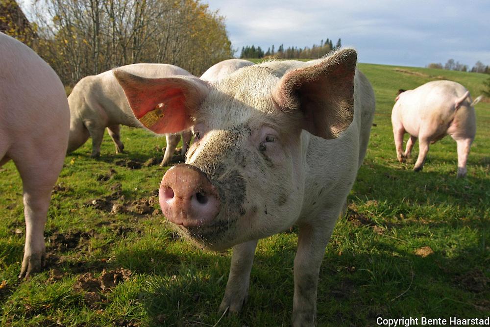 utgangergris, familien Dyrhaug, Hilmo i Tydal. Pigs in Norway. Norsk gris. Frilandsgris på beite ved Hilmo i Tydal, bedriften Tydalskjøtt.