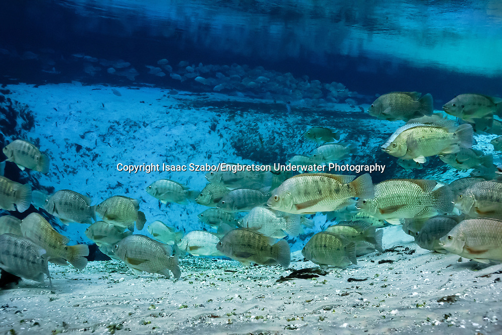 Blue Tilapia<br /> <br /> Isaac Szabo/Engbretson Underwater Photography