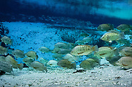 Blue Tilapia<br />