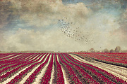 tulip field in full bloom - texturized photograph<br />