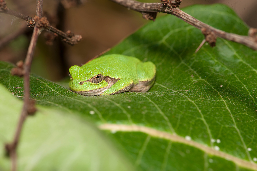 Tree Frog resting on Milkweed leaf