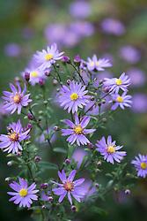 Aster 'Prairie Purple' syn. Symphyotrichum 'Prairie Purple'