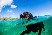 A black labrador retriever dog swimming in the ocean, Kauai, Hawaii