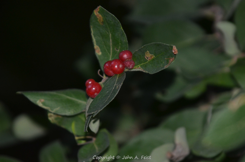 A small cluster of current berries on the bush against a very dark background. Omega Institute, Rhinebeck, NY