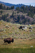 Bison, or American buffalo, takes a dust bath near the Yellowstone River, between Tower Junction and Lamar Valley, Yellowstone National Park, Wyoming. There's around 3,700 bison the park, of the Plains Bison subspecies. <br /> Yellowstone may be the only place where bison have not been hunted out of existence, although the population plummeted due to poaching at the turn of the 20th century. The population is still under threat - when they roam outside the park boundaries, and from claims that they transmit disease such as brucellosis to cattle.