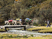 Burros at Cebolla Pampa in the Quebrada Llanganuco (Llanganuco Valley).  Cebolla Pampa is at the 77km road marker from Yungay, and is the trailhead for Pisco Base Camp and Rifugio Perù.