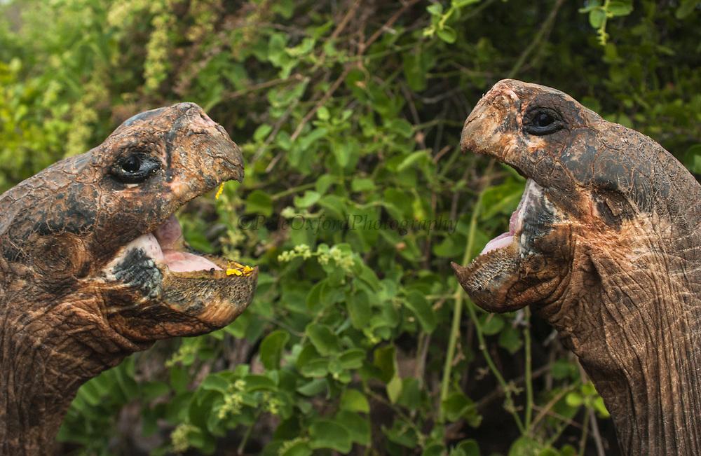 Galapagos Giant Tortoises<br /> Geochelone elephantophus<br /> Darwin Research Station<br /> Santa Cruz Island<br /> Galapagos Islands<br /> ECUADOR.  South America