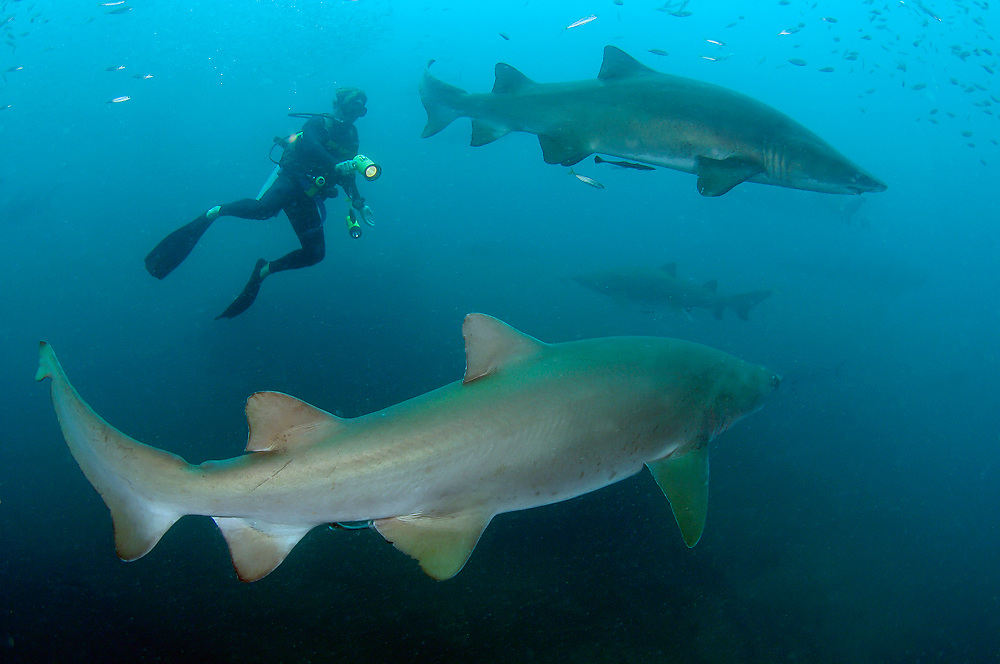 A diver swims with Sand Tiger Sharks (Carcharias taurus) on the wreck of the Caribsea, a freighter sunk during WWII by a German submarine, in the Outer Banks of North Carolina.