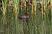 A Little Grebes (Tachybaptus ruficollis)  swimming in a lake in Kanagawa, Japan Friday April 13th 2018