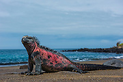 Marine Iguana (Amblyrhynchus cristatus) <br /> Black Beach, Floreana Island<br /> Galapagos<br /> Ecuador, South America<br /> ENDEMIC TO THE ISLANDS<br /> Breeding colors, December