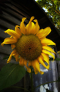 Sunflower in front of barn