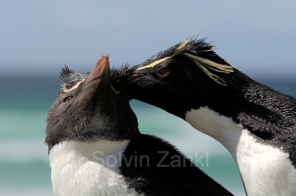 Diese Felsenpinguine (Eudyptes chrysocome) haben sich erst kürzlich als Paar gefunden und noch kein Nest angelegt. |This pair of rockhopper penguins (Eudyptes chrysocome) has just met and did not start nesting yet.