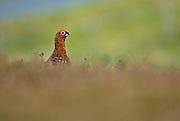 EN. Red grouse (Lagopus lagopus scoticus). Male scouting over heatherland.  Yorkshire, England, UK.<br /> ES. Lag&oacute;podo Escoc&eacute;s (Lagopus lagopus scoticus). Macho oteando sobre p&aacute;ramo. Yorkshire, Inglaterra, Reino Unido.