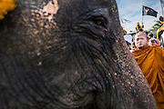 "28 AUGUST 2014 - BANGKOK, THAILAND: A Buddhist monk blesses an elephant before the King's Cup Elephant Polo Tournament at VR Sports Club in Samut Prakan on the outskirts of Bangkok, Thailand. The tournament's primary sponsor in Anantara Resorts. This is the 13th year for the King's Cup Elephant Polo Tournament. The sport of elephant polo started in Nepal in 1982. Proceeds from the King's Cup tournament goes to help rehabilitate elephants rescued from abuse. Each team has three players and three elephants. Matches take place on a pitch (field) 80 meters by 48 meters using standard polo balls. The game is divided into two 7 minute ""chukkas"" or halves.      PHOTO BY JACK KURTZ"