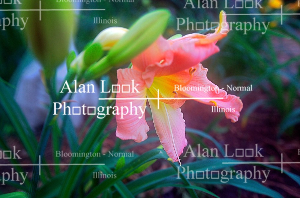 30 June 2014:   Pink Lilly bloom.  Softness in image produced by humidity hazing camera lens.  Bloom is a little past its prime and shows petals curling up, but beautiful detail and color remain. This image was produced in part utilizing High Dynamic Range (HDR) or panoramic stitching or other computer software manipulation processes. It should not be used editorially without being listed as an illustration or with a disclaimer. It may or may not be an accurate representation of the scene as originally photographed and the finished image is the creation of the photographer.