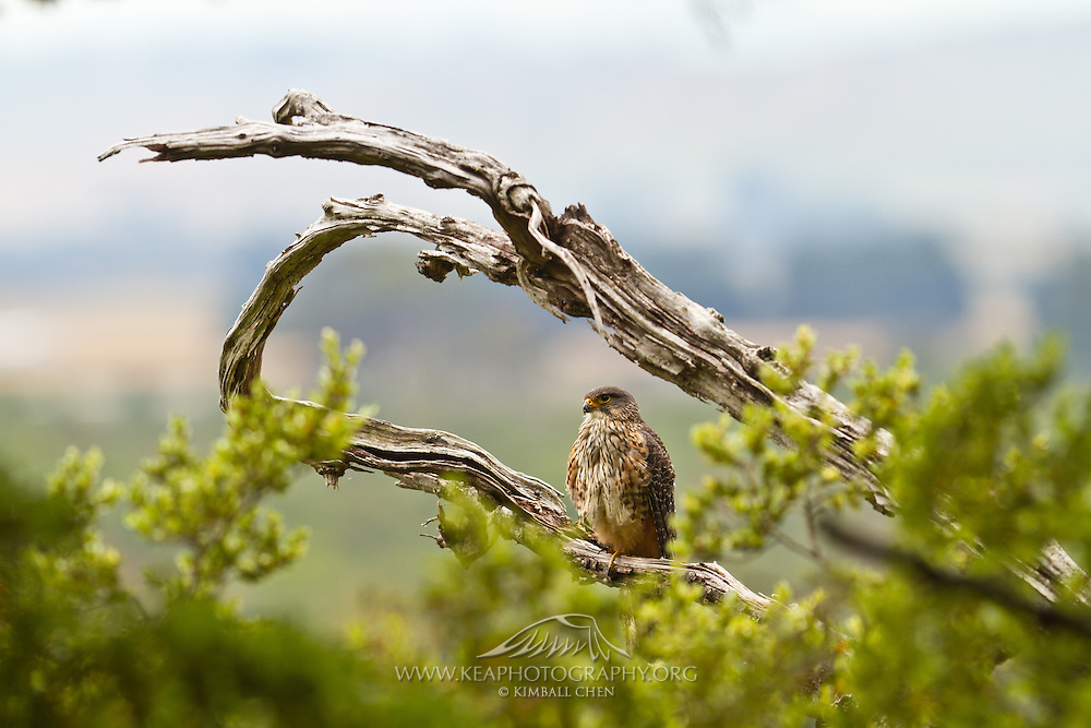New Zealand Falcon, Fiordland