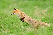 Red fox (Vulpes vulpes) | Rotfuchs (Vulpes vulpes) auf Mäusejagd