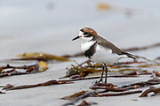 Two-banded Plover (Charadrius falklandicus) from Sea Lion Island, the Falklands.