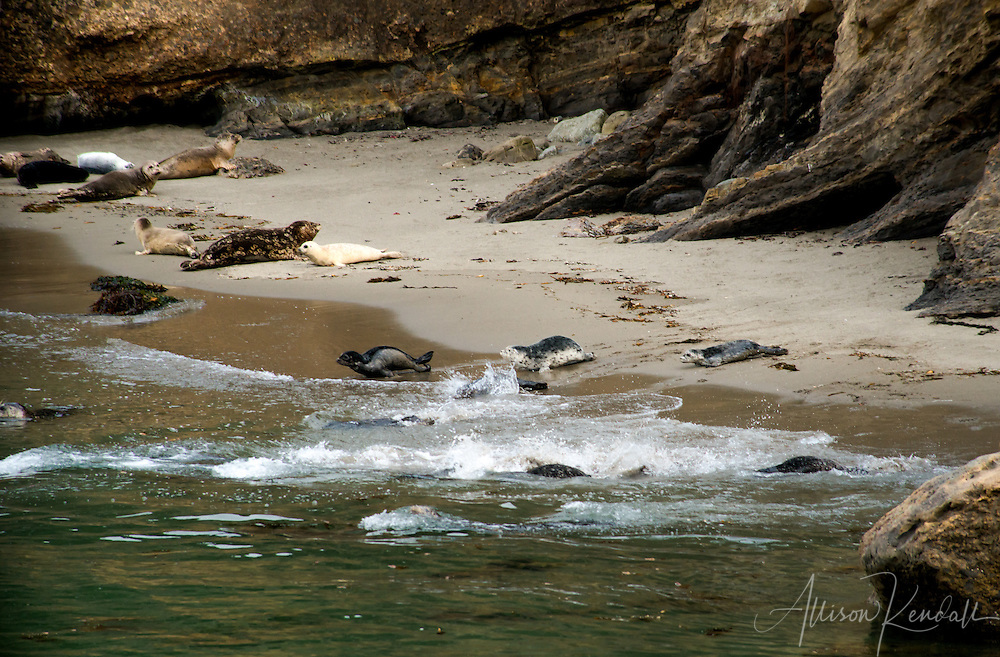 Pacific harbor seals (Phoca vitulina) and their young springtime pups rest on the beach and play in the sheltered water of Point Lobos State Natural Reserve, in Monterey, California