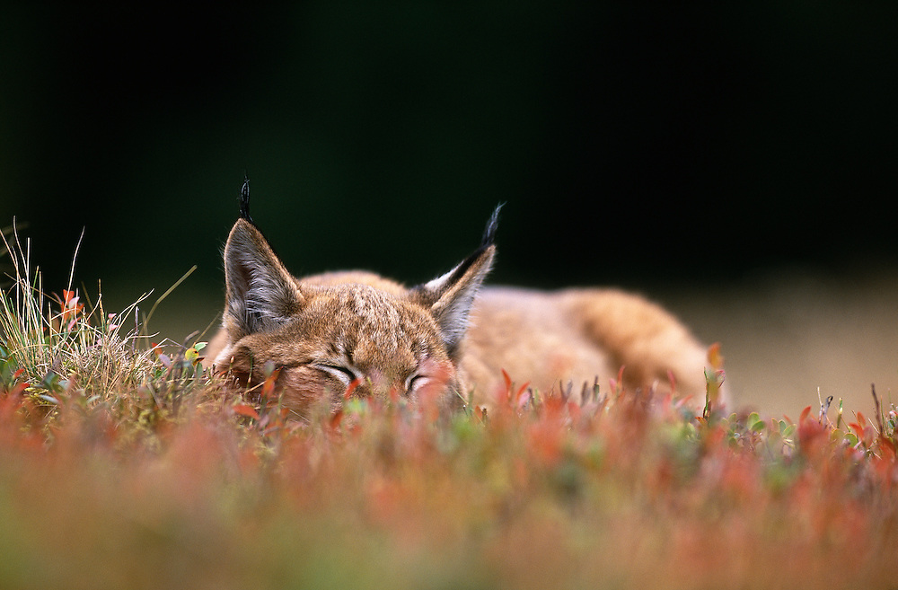 Young European lynx asleep amongst bilberry plants