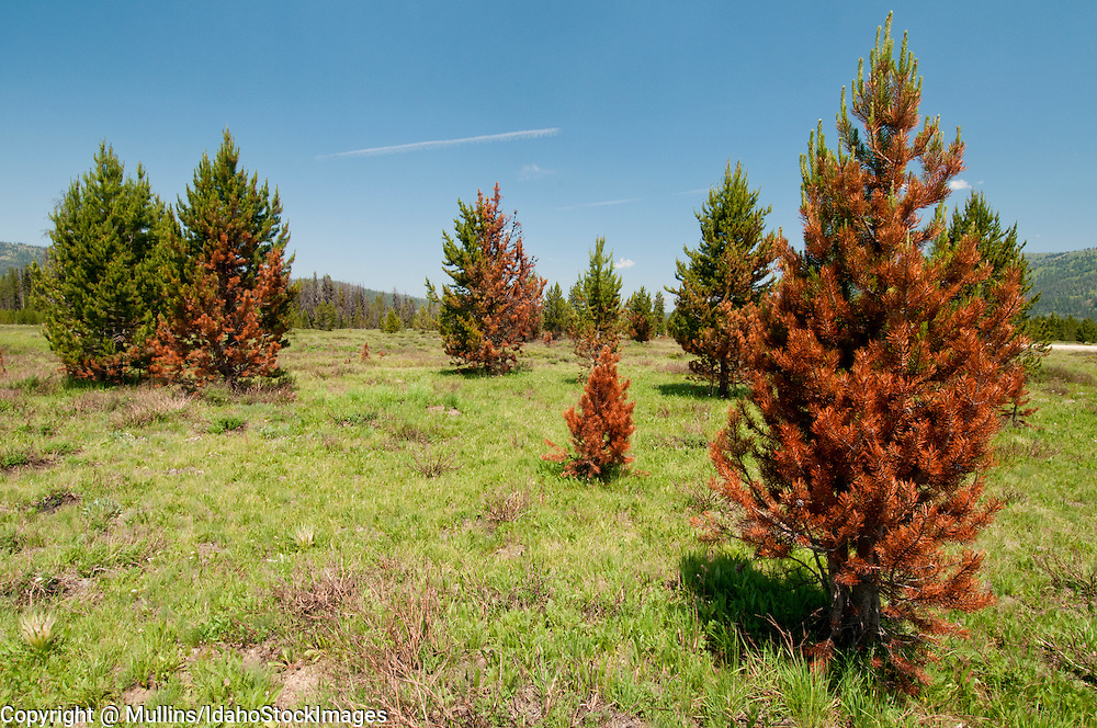 Beginning stages of a mountain pine beetle infestation in lodgepole pine trees in Bear Valley, ID