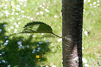 Single leaf growing from side of Cherry blossom tree