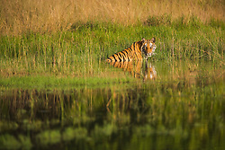 A Bengal tiger (Panthera tigris tigris) sitting in the reeds and water of a water hole on a hot summer afternoon, Bandhavgarh,Madhya Pradesh,India